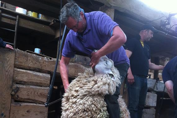 adrian sheep shearing